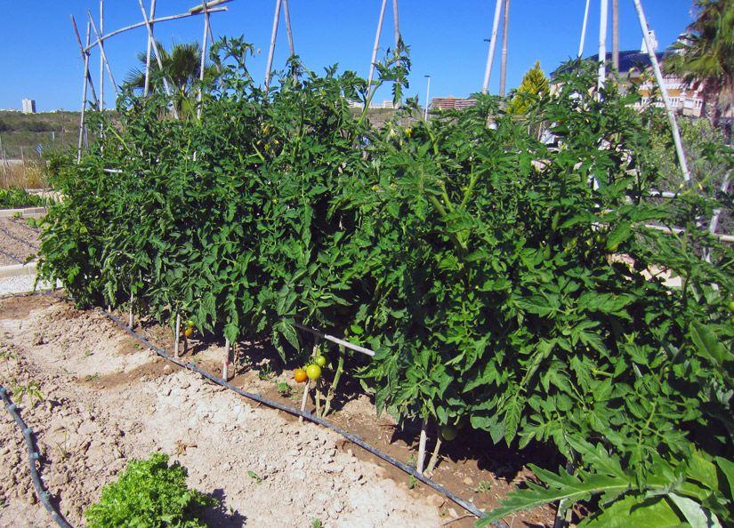 Tuteur à tomates de type portique en V