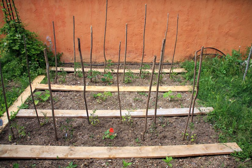 Tuteur tomate sous forme de simple branche en bois