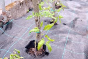 Tuteur à tomates branche de bois