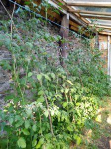 Tuteur tomate ficelle sous serre
