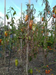 Piquet à tomates en bois