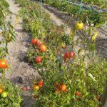 Tuteur à tomates ficelle