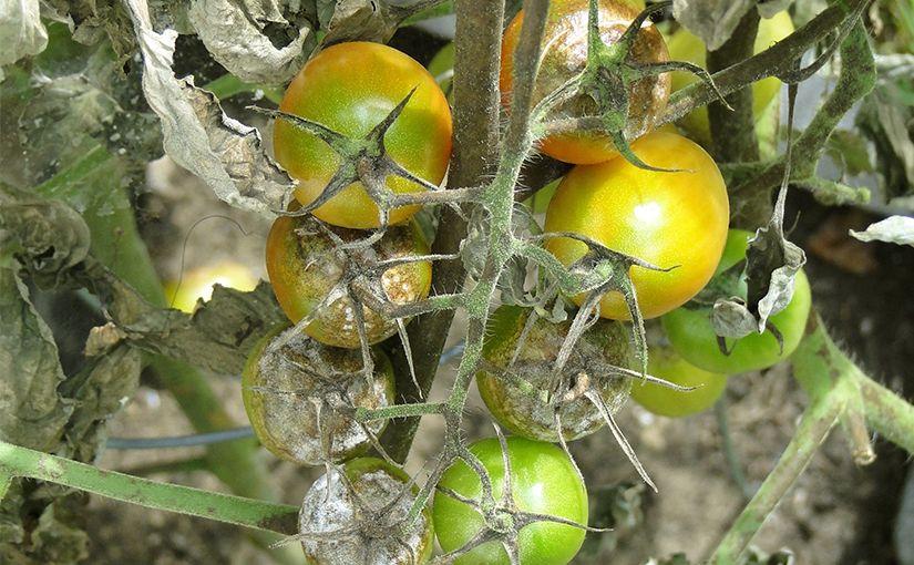 Comment arrêter le mildiou des tomates ?